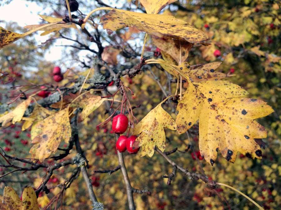 Weißdorn Blätter und Früchte