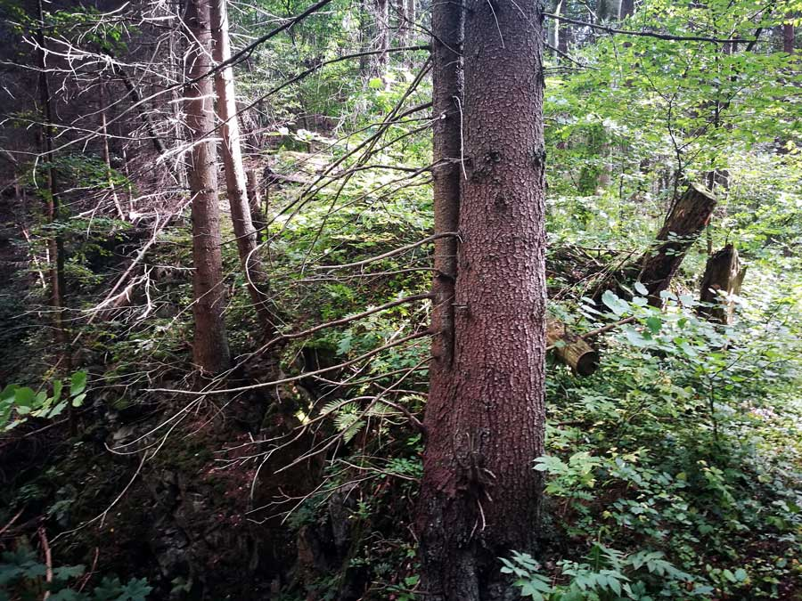 Ein Fichtenwald kann Fundort für die Zutaten meines Brustbalsames sein